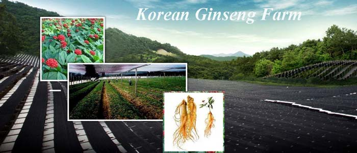 5 red ginseng tacy